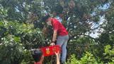 Nhân viên J&T Express chi nhánh Bắc Ninh hỗ trợ nhà vườn thu hái nhãn