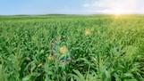 Cánh đồng bắp tươi tại Trang trại sinh thái Vinamilk Green Farm Tây Ninh