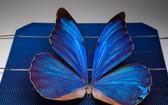 圖為澳大利亞國立大學在研究中所拍攝的一隻放在太陽能電池板上的歡樂女神閃蝶。(圖源:互聯網)