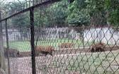 圖為清化省壽春縣春信鄉的阮茂戰在其莊園圈養的野生老虎群。(圖源:清俊)