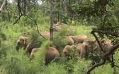 同奈省野象群破壞農作物。(圖源:仕宣/越通社)