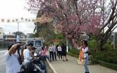 2018年第一次大勒櫻花節一瞥。