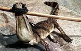 逃離的鱷魚最終讓民眾圍捕抓到後,送回飼養場。(圖源:南盛)