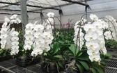 台商在我國林同省種植的名種蘭花深受市場的歡迎。