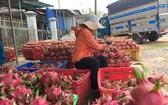 植物保護局局長黃忠:我國火龍果向中國市場出口的活動仍正常。(示意圖源:互聯網)