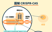 CRISPR工作原理。(圖源:互聯網)