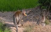 偷食蔬果的兩頭猴子。(圖源:TPO)