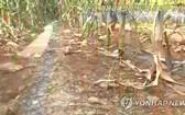 朝鮮農田遭遇嚴重旱災。(圖源:韓聯社)
