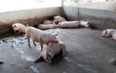 圖為巴地-頭頓省州德縣溪澆鄉的一戶養豬場豬群發生非洲豬瘟疫情。