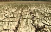 圖為平定省懷恩縣恩性鄉永德村的農田乾涸龜裂。(圖源:越通社)