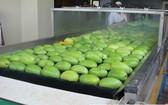 據悉,首批越南芒果已在上月輸往智利市場。(示意圖源:互聯網)