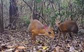 一度消失近30年的罕見野生動物銀背鼷鹿竟重現蹤跡。(圖源:互聯網)