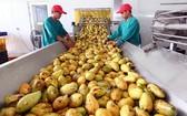 圖為芒果收穫後初加工。(圖源:田升)
