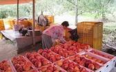 圖為韓國慶尚北道義城郡的一名農夫在蘋果園收穫蘋果。(圖源:互聯網)