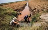 堅江省安邊縣興安鄉的水稻田遭鹹水入侵導致土壤鹽化,水稻漸漸枯黃。(圖源:越通社)