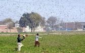 蝗災導致農作物受損。(圖源:新華社)