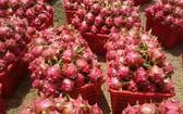 目前火龍果售價劇增,每公斤介於1萬3000元至1萬6000元。(圖源:互聯網)