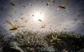 全球陷入傳染病危機之際,多國同時面臨沙漠蝗災威脅。(圖源:互聯網)