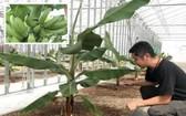 釧路市成功在嚴寒天氣下種出特色香蕉。(圖源:互聯網)