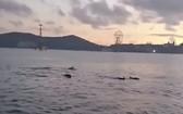 一群海豚聚集在芽莊灣海面上湧現跳躍。(圖源:視頻截圖)