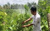 """憑藉蓄水袋,檳椥省農民胡文起的果園""""重生""""了。"""