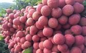 新鮮美味多汁的北江陸岸荔枝。(示意圖源:互聯網)