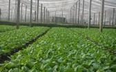 圖為河內市雲內合作社栽培的無公害菜園。(圖源:田升)