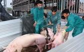 首批父母代種豬13日抵達河靖省錦川縣錦山鄉動物檢疫隔離區。(圖源:文江)