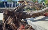 達樂省西原科技高等學校校園內的一棵鳳尾樹連根拔起。(圖源:H.T)