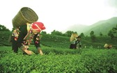 萊州省碳苑縣福科鄉玉賴村農夫採摘茶葉。(圖源:秋莊)