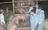 圖為同奈省垂陽公司從泰國進口的首批生豬。(圖源:楊阮)