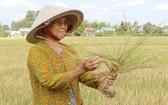 鹽漬及乾旱造成隆安省新柱縣約900公頃冬春造稻穀絕收,經濟損失頗大。(圖源:清豐)