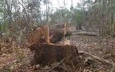 圖為一起非法砍伐林木案現場。(圖源:映玉)