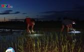 河內市郊外農民夜間配備照亮燈去插秧。(圖源:VTV視頻截圖)