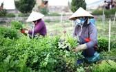 圖為兩名女農夫在收割蔬菜。(圖源:田升)