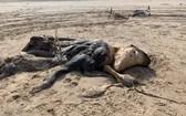 """""""不明生物""""的屍體身長4.57米,""""軀體""""上有毛皮覆蓋,亦有鰭肢。(圖源:互聯網)"""