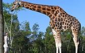 現年12歲的雄性長頸鹿身高5.7米。(圖源:互聯網)