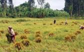 由於大雨連天,後江省許多地方聯合收割機無法進入田間,農民不得不手動收割水稻。(圖源:高豐)