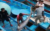 漁船靠岸後,漁民對捕撈到的鮪魚進行分類。(圖源:越通社)