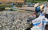 范文孟養魚戶的多個養魚網箱的死魚屍浮滿水面。(圖源:俊明)
