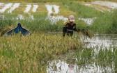 在陳文時縣的淡水低窪區域,因水淹時間長,故水稻已傾倒,導致收割與打殼聯合機無法作業,農民只好以手工割稻。(圖源:晉泰)
