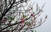 提早綻放的安沛桃花。(圖源:陳梅洋)