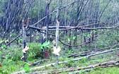 遭颱風刮倒的金合歡及橡膠樹。(圖源:VOV)