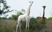 生活在肯尼亞東北部加里蕯縣的稀有白色長頸鹿。(圖源:互聯網)