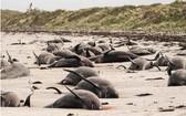 紐西蘭沙灘發生大規模鯨豚擱淺死亡的事件。(圖源:路透社)