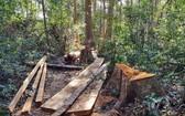 圖為第249號小區內的一棵逾百年白松樹被砍伐並切割成木材。(圖源:清河)