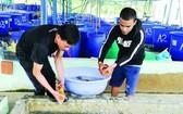 第十二郡盛春坊周宋養魚場飼養與出口錦鯉。