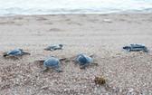 寧順省把800多只稀有海龜放回大海