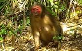 紅臉猴。(圖源:互聯網)