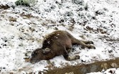 沙巴山區上的一頭牛犢被凍死在嚴寒雪花飄落中。(圖源:瓊莊)